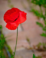 Red Poppy Flower. Image taken with a Fuji X-H1 camera and 200 mm f/2 OIS lens + 1.4x teleconverter (ISO 200, 280 mm, f/5.6, 1/600 sec).
