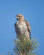 Juvenile red-tailed hawk perched in the top of a ponderosa pine tree, © 2014 David A. Ponton