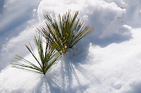 Pine Branch Covered with Snow. Image taken with a Nikon D300 and 18-200 VR lens (ISO 200, 200 mm, f/9, 1/800 sec).