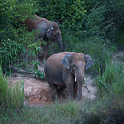 Wild Asian Elephants at dusk (Elephas maximus) in the Kui Buri National Park in Thailand.