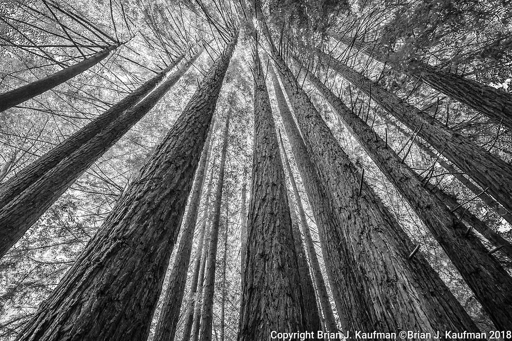 A towering grove of redwood trees in Big Sur, California.
