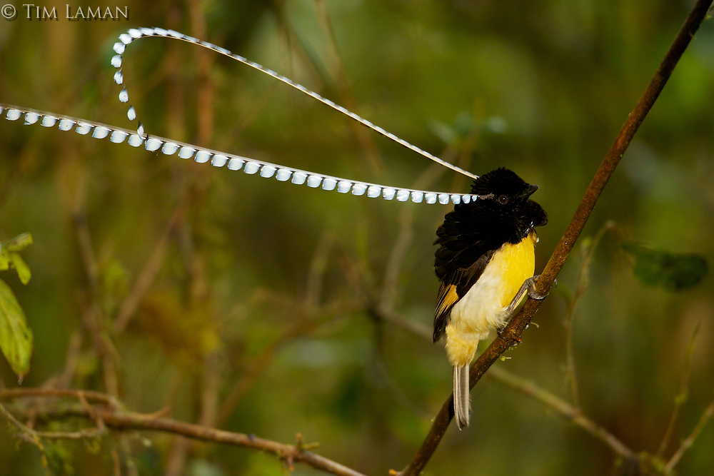 King of Saxony Bird of Paradise (Pteridophora alberti)<br />