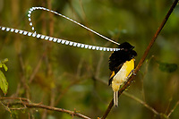 King of Saxony Bird of Paradise (Pteridophora alberti)<br />Adult male performing display on vines in the forest interior.