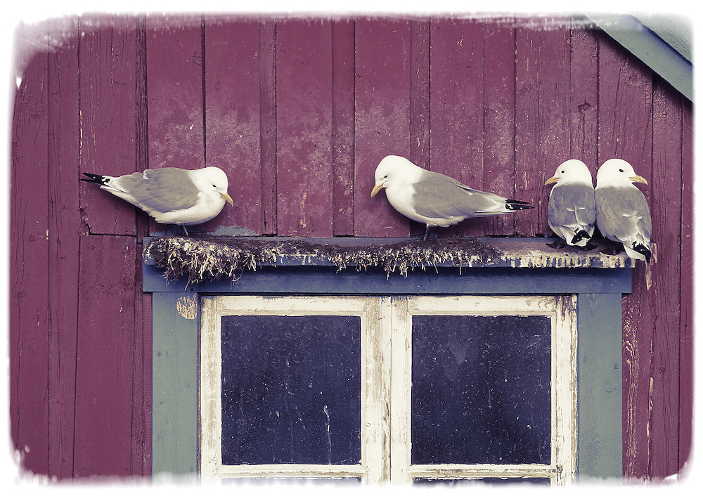 Kittiwakes perched on window frame, Lofotens