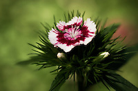 "A fragrent and charming single dianthus blossom, also known as ""sweet william""."
