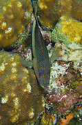 Coney (Cephalopholis fulva)<br /> BONAIRE, Netherlands Antilles, Caribbean<br /> HABITAT &amp; DISTRIBUTION: Reefs<br /> Florida, Bahamas, Caribbean, Gulf of Mexico, Bermuda &amp; south to Brazil.