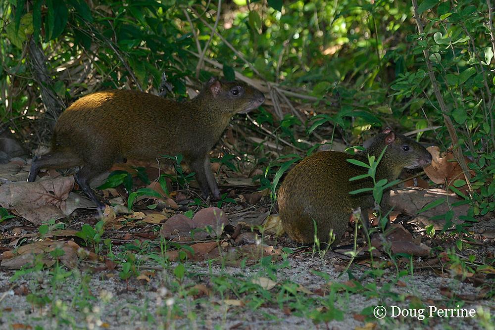 agouti or bush rabbit, Dasyprocta punctata, Kanantik Resort, Stann Creek District, Belize, Central America