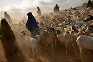 A herd of goats is driven through Ifo refugee camp at dawn on August 8, 2011. Many families interviewed by Internews said they fled to Dadaab after all of their livestock died because of the drought in Somalia. The dirt road from Garissa to Dadaab is littered with cow and goat skeletons.
