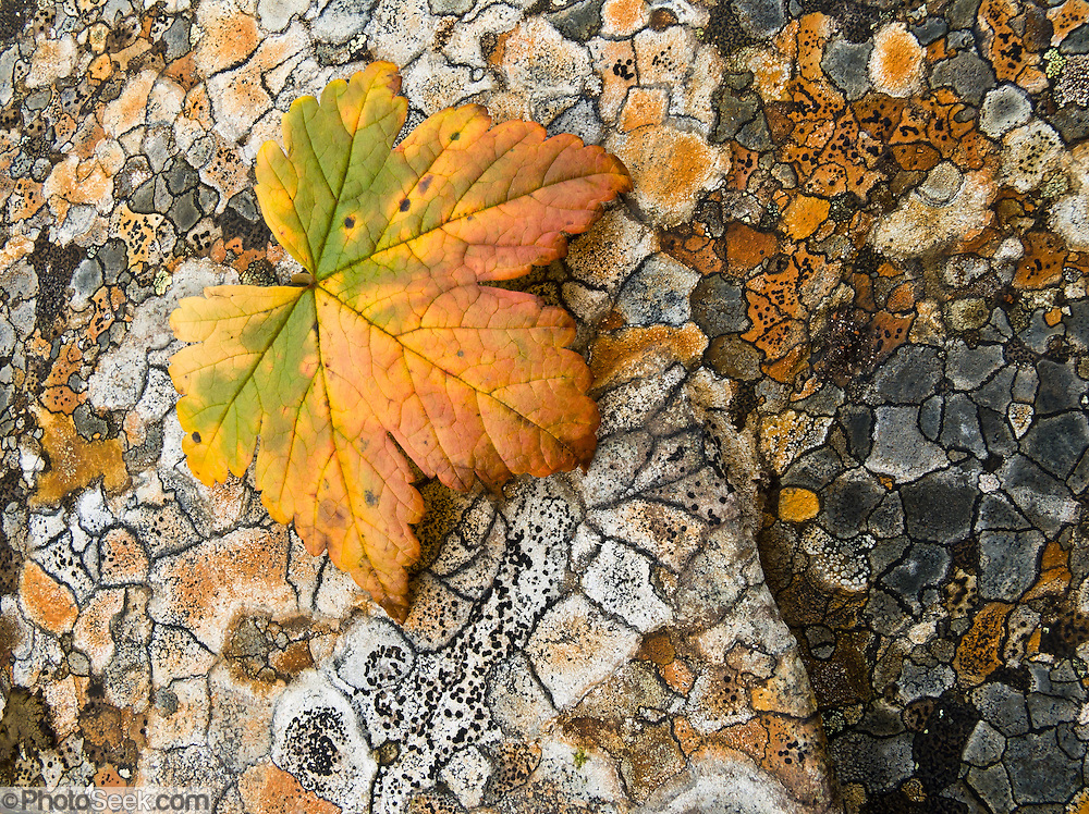 "An orange and green leaf rests on polygons of orange and gray lichen in Denali State Park, Alaska, USA. Published in ""Light Travel: Photography on the Go"" by Tom Dempsey 2009, 2010."