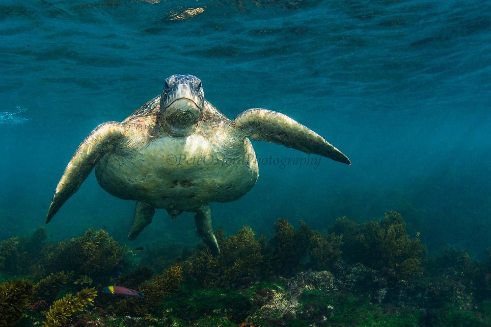 Green Turtle (Chelonia mydas agassisi)<br /> Floreana Island<br /> Galapagos<br /> Ecuador, South America