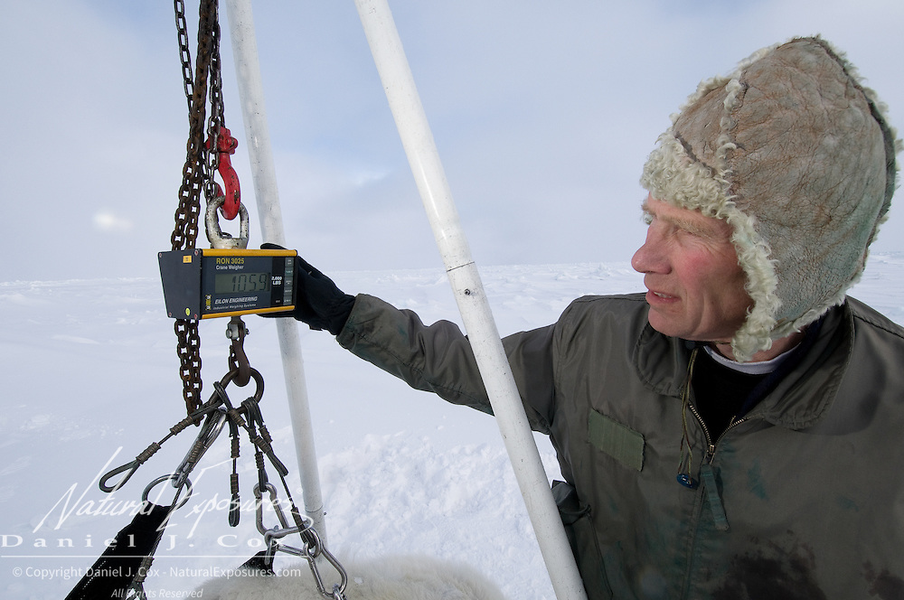 Dr. Steve Amstrup weighs a polar bear on the Beaufort Sea, Alaska.