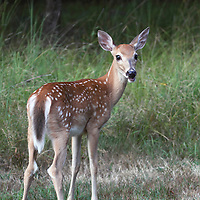 A Whitetail Deer fawn, Odocoileus virginianus, looking back at the viewer. Rifle Camp Park, Woodland Park, New Jersey, USA