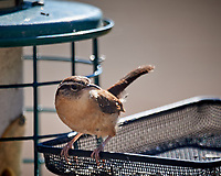 Carolina Wren. Image taken with a Nikon D5 camera and 600 mm f/4 VR telephoto lens (ISO 180, 600 mm,  f/4, 1/640 sec).