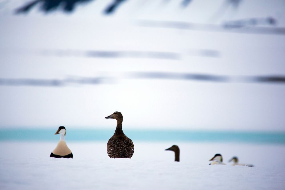 Common Eider ducks, near the trapping station at Mushamna, Woodfjorden, Svalbard