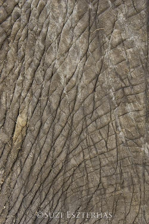 African Elephant<br /> Loxodonta africana<br /> Masai Mara Conservancy, Kenya