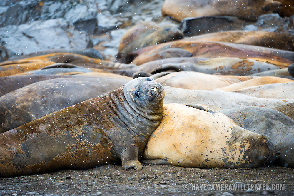 A large harem of Southern Elephant Seals on the beach of Livingston Island in the South Shetland Islands, Antarctica.