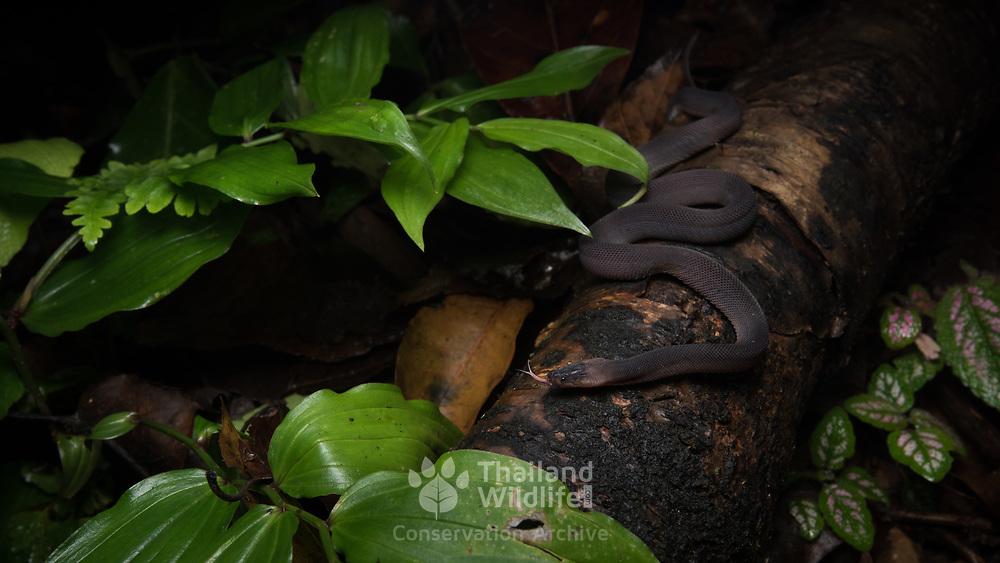 Laotian Bearded Snake (Parafimbrios lao) in Nan, Thailand