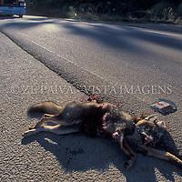 """Cachorro do Mato ou Graxaim, """"Cerdocyon thous"""", atropelado. foto de Ze Paiva/Vista Imagens"""