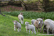 Ewes and lambs with Spring flowers in the pasture behind the Colonial Garden at Colonial Williamsburg.