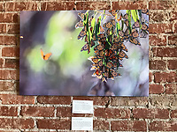 "30""x20"" Dye-sublimation aluminum super glossy (Wintering Monarchs) at Bareburger, Santa Monica, CA, USA, on 20-Oct-17"