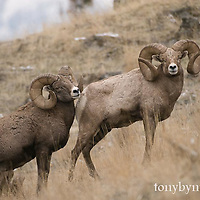 bighorn rams, trophy bighorns rams wild rocky mountain big horn sheep
