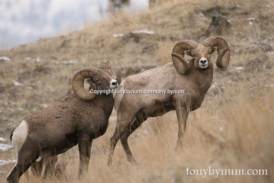 bighorn rams, trophy bighorns rams wild rocky mountain big horn sheep