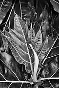 Utheemu Island. Breadfruit tree.<br />2006