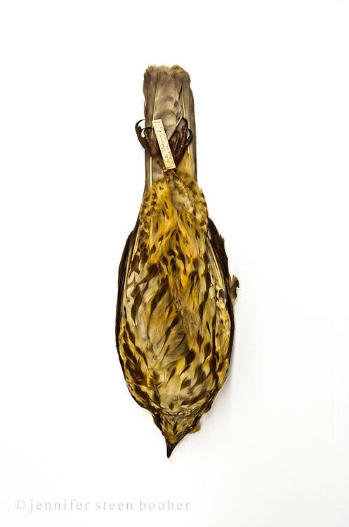 Spellman Bird Collection: Buteo latissimus, August 29, 1882. No.480