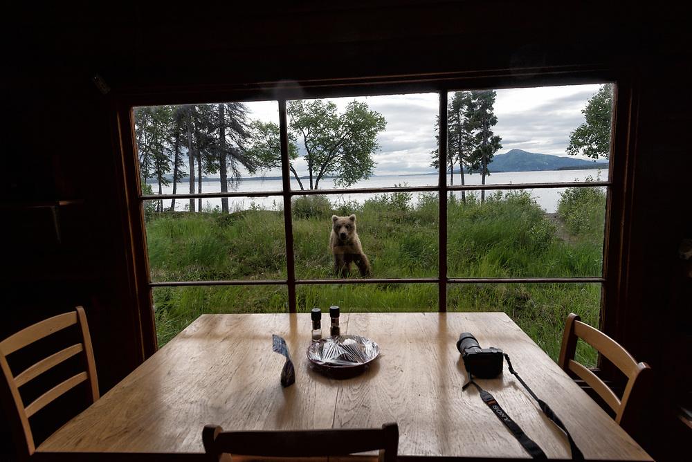 A brown bear cub looks in the window of a cabin on Brooks Lake in Alaska.