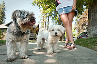 JEROME A. POLLOS/Press..Sonja Brekke walks her dogs, Bowzer and Tinkerbell, through the Sanders Beach neighborhood Wednesday. During the 4th of July holiday, shelters and animal control officers are inundated with lost and scared animals.