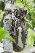 Eastern Woolly Lemur<br /> Avahi laniger<br /> Andasibe-Mantadia National Park, Madagascar