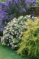 Shrub border. Lonicera nitida 'Baggesen's Gold', Choisya 'Aztec Pearl', and Ceanothus 'Puget Blue'