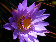 Purple Water Lily ~ Beautiful and vibrant violet purple water lily.<br />