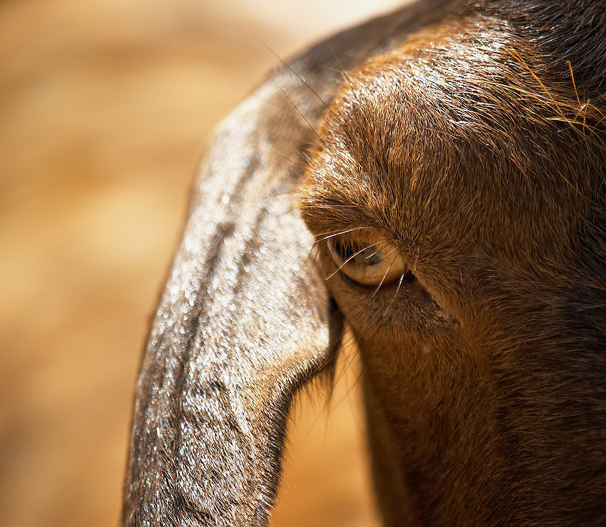 Tunisia - Brown goat closeup