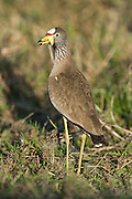 African Wattled Lapwing, Rio Savanne, Beira, Sofala Province, Mozambique
