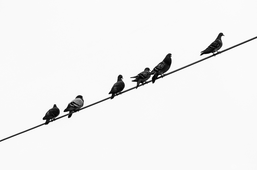 Pigeons on a wire.