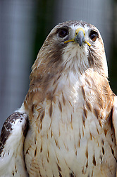 red-tailed hawk (Photo by Alan Look)