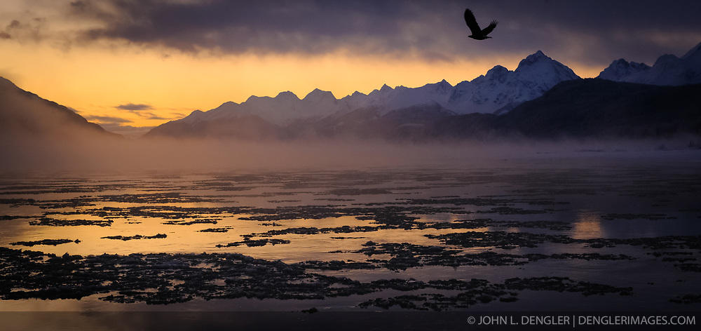 A lone bald eagle (Haliaeetus leucocephalus) flies above the ice-laden Chilkat River during sunrise in the Alaska Chilkat Bald Eagle Preserve near Haines, Alaska. Photographers from around the world come to the Chilkat River to photograph bald eagles. During November and December several thousand bald eagles are seen along the river allowing for ample opportunities to photograph the birds along with beautiful scenery that the area offers. In 1982, the 48,000 acre area was designated as the Alaska Chilkat Bald Eagle Preserve.