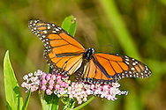 03536-05007 Monarch butterfly (Danaus plexippus) male on Swamp Milkweed (Asclepias incarnata) Marion Co., IL