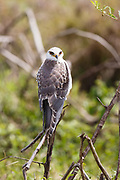 Black-shouldered Kite, immature, Svartvingad Glada, Elanus caeruleus, Serengeti National Park, Tanzania, Africa