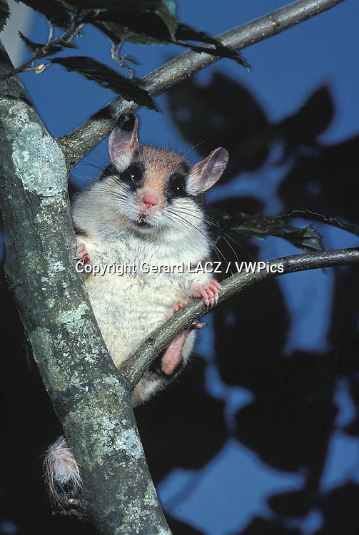 Garden Dormouse,  eliomys quercinus, Adult standing on Branch