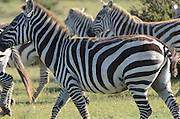 A heard of Zebras at Lake Naivasha, Kenya
