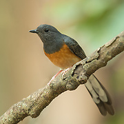 White-rumped shama (Copsychus malabaricus) female from Kaeng Krachan National Park.