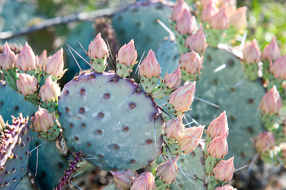 Found only within the greater Big Bend Region, this prickly pear can be vibrant green during wet times, or deep magenta during colder months or dry times. Yellow flowers with red centers will bloom from April to July.  This one was photographed<br />  in Big Bend National Park in Western Texas.
