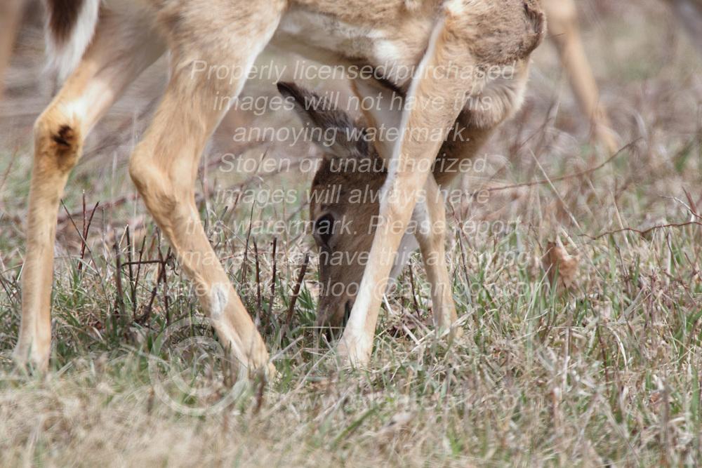 White-Tail Deer