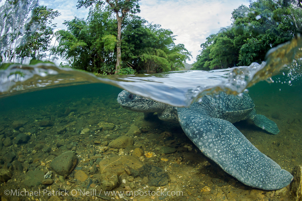 During my stay in Trinidad, one female Leatherback Sea Turtle, Dermochelys coriacea, became disoriented after nesting and entered a clearwater river instead of heading back into the ocean. Working with Grande Riviere Nature Tour Guide Association and Turtle Village Trust representatives, we were able to turn the female Leatherback around towards the beach. She left the creek, crawled over the hot sand and swam into the surf. Image available as a premium quality aluminum print ready to hang.