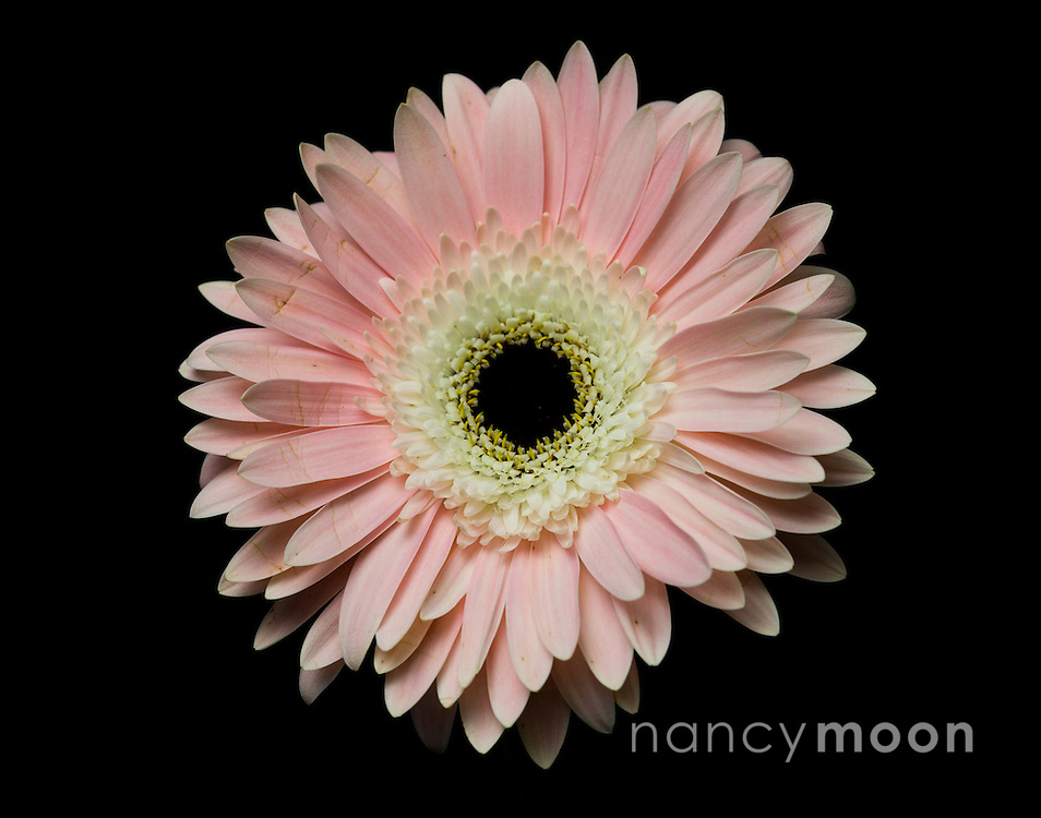 Gerbera Daisy, in pink, with tight dramatic composition against a black backdrop<br /> <br /> *For all details about sizes, paper and pricing starting at $85, click &quot;Add to Cart&quot; below.