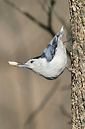 White Breasted Nuthatch Having A Peanut, Sitta carolinensis