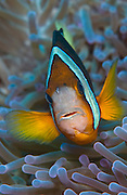 Clark's Anemonefish (Amphiprion clarkii) in Komodo National Park, Indoneisa.