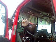 "EXCLUSIVE<br /> Bear Lake, Idaho, USA - When a young bald eagle crashed through the windshield of a semi-truck traveling at more than 60 mph in Bear Lake, Idaho, nobody gave the bird much of a chance of surviving. However, Wiegle, short for ""Window Eagle,"" has made a miraculous recovery. After treatment for internal bleeding and a month of rehabilitation at Teton Raptor Centre in Wyoming, Wiegle was able to fly, eat and navigate all on her own and now has been set free to soar again. 'This return to the wild qualifies as the most remarkable among our success stories,"" said Amy Brennan McCarthy, executive director at the raptor centre.<br /> © Ben Wright/Exclusivepix"